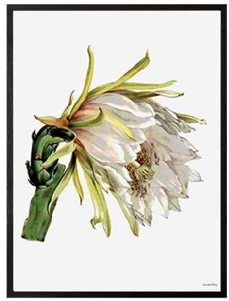 "VANILLA FLY ""WHITE FLOWER ""POSTER CON CORNICE NERA  20X25"